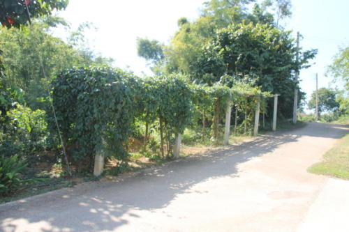 Passion fruit trees
