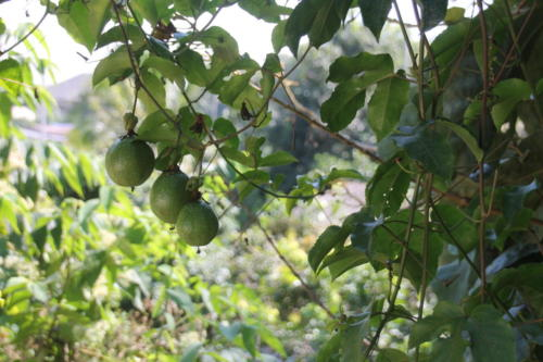 Passion fruit hanging from one of our trees.